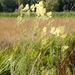 Thalictrum lucidum - Photo (c) Drepanostoma, algunos derechos reservados (CC BY-NC)