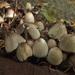 Coprinopsis alopecia - Photo (c) Иван Матершев, algunos derechos reservados (CC BY-NC)