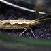 Palomillas de Dorso Diamante - Photo (c) Alan Melville, algunos derechos reservados (CC BY-NC-ND)