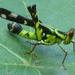 Erianthus serratus - Photo (c) Pam Piombino,  זכויות יוצרים חלקיות (CC BY-NC)