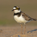 Little Ringed Plover - Photo (c) Геннадий, some rights reserved (CC BY-NC)
