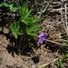 Viola dissecta - Photo (c) Павел Голяков,  זכויות יוצרים חלקיות (CC BY-NC)