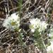 Paronychia cephalotes - Photo (c) Stefan.lefnaer, osa oikeuksista pidätetään (CC BY-SA)