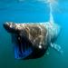 Tiburón Peregrino - Photo Greg Skomal / NOAA Fisheries Service, sin restricciones conocidas de derechos (dominio público)