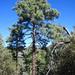 Pino Apache - Photo (c) Chris M, algunos derechos reservados (CC BY)