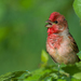 Common Rosefinch - Photo (c) Геннадий, some rights reserved (CC BY-NC)