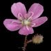 Drosera pulchella - Photo (c) Kevin Thiele, some rights reserved (CC BY)