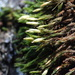 Orthotrichum papillosum - Photo (c) Belinda Lo, algunos derechos reservados (CC BY-NC-SA)