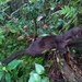 Indonesian Mountain Weasel - Photo (c) Ahmad Mursyid, some rights reserved (CC BY-NC)
