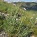 Lomelosia austroaltaica - Photo (c) Павел Голяков, algunos derechos reservados (CC BY-NC)