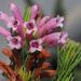 Erica viscaria longifolia - Photo (c) Felix Riegel, algunos derechos reservados (CC BY-NC)
