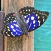Great Purple Emperor - Photo (c) raylei, some rights reserved (CC BY-NC)
