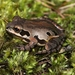 Ornate Chorus Frog - Photo (c) Eric Soehren, some rights reserved (CC BY-NC)