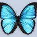 Menelaus Morpho - Photo (c) yixianshuiesuan, some rights reserved (CC BY-NC)