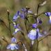 Lobelia erinus - Photo (c) fayne, algunos derechos reservados (CC BY-NC)
