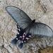 Papilio elwesi - Photo (c) raylei, algunos derechos reservados (CC BY-NC)
