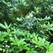 Acradenia frankliniae - Photo (c) Miguel de Salas, some rights reserved (CC BY)