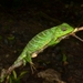 Pethiyagoda's Crestless Lizard - Photo (c) Eugene Popov, some rights reserved (CC BY)