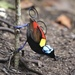 Wilson's Bird-of-Paradise - Photo (c) congonaturalist, some rights reserved (CC BY-NC)