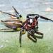 Araña Saltarina de Dos Líneas - Photo (c) Cheryl Harleston López Espino, algunos derechos reservados (CC BY-NC-ND)