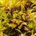 Funariaceae - Photo (c) klips, osa oikeuksista pidätetään (CC BY-NC)