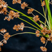 Needlegrass Rush - Photo (c) Peggy Romfh, some rights reserved (CC BY-NC)