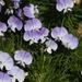 Psoralea - Photo (c) James Bailey, algunos derechos reservados (CC BY-NC)