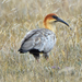 Andean Ibis - Photo (c) Dave Wendelken, some rights reserved (CC BY-NC)