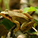 Dybowski's Frog - Photo (c) V.S. Volkotrub, some rights reserved (CC BY-NC)
