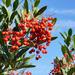 Heteromeles arbutifolia - Photo (c) Debbie Ballentine,  זכויות יוצרים חלקיות (CC BY-ND)