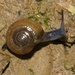 Draparnaud's Glass Snail - Photo (c) James Bailey, some rights reserved (CC BY-NC)