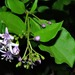 Ehretia rigida nervifolia - Photo (c) Linda Loffler, μερικά δικαιώματα διατηρούνται (CC BY-NC)