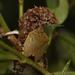 Chinavia erythrocnemis - Photo (c) Lucas Ezequiel Rubio,  זכויות יוצרים חלקיות (CC BY)