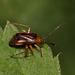 Horciasinus argentinus - Photo (c) Lucas Ezequiel Rubio, algunos derechos reservados (CC BY)