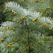 Santa Lucia Fir - Photo (c) James Gaither, some rights reserved (CC BY-NC-ND)