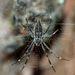 Argiope ocyaloides - Photo (c) Steve Kerr, μερικά δικαιώματα διατηρούνται (CC BY)