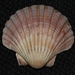 Commercial Scallop - Photo (c) Alan Melville, some rights reserved (CC BY-NC-ND)
