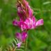 Hedysarum gmelinii - Photo (c) Павел Голяков, algunos derechos reservados (CC BY-NC)