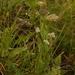 Schulzia crinita - Photo (c) Павел Голяков, some rights reserved (CC BY-NC)