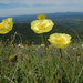 Papaver pseudocanescens - Photo (c) Павел Голяков, some rights reserved (CC BY-NC)