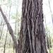 Eucalyptus tricarpa - Photo (c) Wayne Martin, algunos derechos reservados (CC BY-NC)