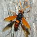 Mydas Flies - Photo (c) Steve Kerr, some rights reserved (CC BY)