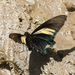 Crassus Swallowtail - Photo (c) Roger Rittmaster, some rights reserved (CC BY-NC)