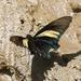 Mariposa Cola de Golondrina de Alas Largas - Photo (c) Roger Rittmaster, algunos derechos reservados (CC BY-NC)
