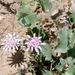 Dwarf Desert Peony - Photo (c) Steve Jones, some rights reserved (CC BY-NC)