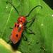 Escarabajos Cuernos Largos del Algodoncillo - Photo (c) Katja Schulz, algunos derechos reservados (CC BY)