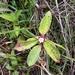 Tristemma mauritianum - Photo (c) Landy Rita, algunos derechos reservados (CC BY-NC)