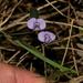Hovea heterophylla - Photo (c) Alan Melville, μερικά δικαιώματα διατηρούνται (CC BY-NC-ND)