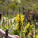 Erica macowanii macowanii - Photo (c) magriet b, algunos derechos reservados (CC BY-SA)