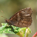 Panyapedaliodes drymaea - Photo (c) Roger Rittmaster, osa oikeuksista pidätetään (CC BY-NC)
